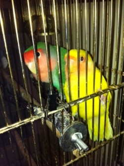 Papageno and Papagena, the lovebirds.