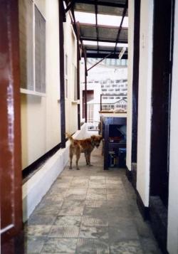 Lucky, a native dog in Manila, circa 1980s.